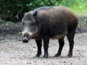 ASF to choroba zagrażająca dzikom i świniom